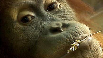 orangsoutangh Animaux